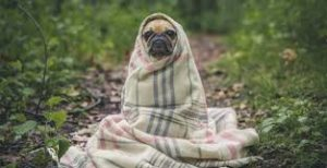 a pug wrapped in a blanket