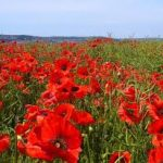 Remembrance Day poppy field